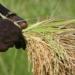 Sénégal: «L'autosuffisance en riz est réalisable»…