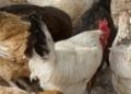 Filière avicole: Le Sénégal envisage de s'ouvrir au marché extérieur
