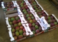 Commerce extérieur: Le Kent, roi de la mangue en France