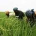 Uemoa : La production céréalière franchit le cap des 28 millions de tonnes pour la campagne 2017/2018, en hausse de 2,8%