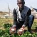 FRAISEN : Des fraises du Djolof