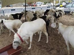 Tabaski 2019 : moutons cherchent clients