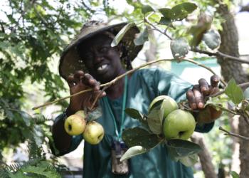 Culture de la pomme au Sénégal :  Expérience réussie