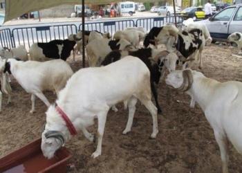 Tabaski : Les besoins du marché estimés à 750 000 moutons