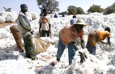 Sénégal : Hausse de la production de coton, 20 mille tonnes récoltées en 2020